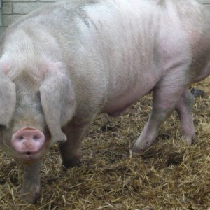 Pig songs at Magdalen Farm